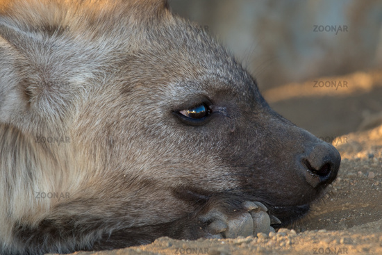 Young Hyena having rest