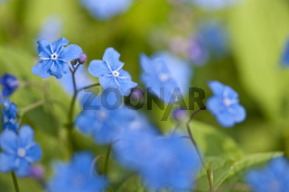Gedenkemein, blue-eyed mary