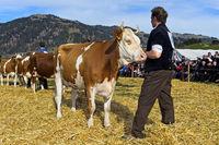 Präsentation einer Schweiz Fleckvieh Kuh an der Swiss Cow Topschau Saanenland, Gstaad, Schweiz