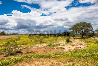 African savanna in bloom