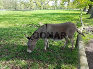 Esel; Equus, asinus
