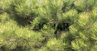 Branches of pine close-up. Green spruce tree background. Coniferous tree with long needles.
