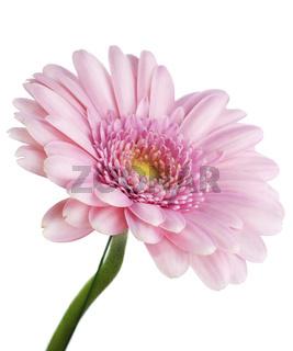 Flower pink 'Gerbera' macro