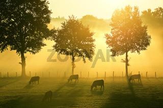 Rinderweide bei Sonnenaufgang, France