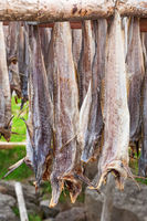 Stockfish drying outdoors on a rack