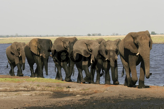 African Elephant-Afrikanischer Elefant