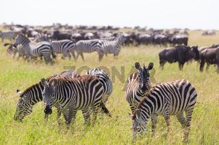 Zebras grazing in Serengeti National Park in Tanzania, East Africa.