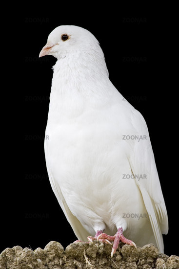 Weisse Taube, white pigeon or dove