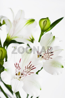 White flowers with green buds