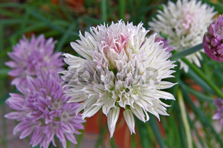 Flowers of chives