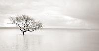 Lone mangrove tree in still waters