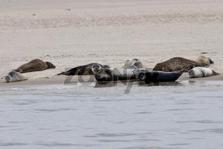 Seehunde und Kegelrobben