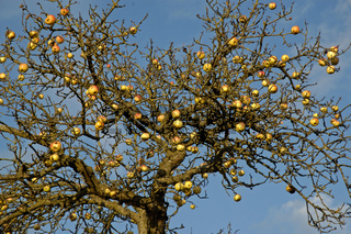 Äpfel am Baum (Malus domestica) Apples on tree