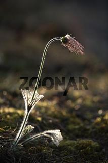 Kuechenschelle, gewoehnliche Kuhschelle, Pulsatilla vulagaris, Common Pasqueflower