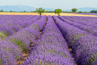 lavender field in the Provence