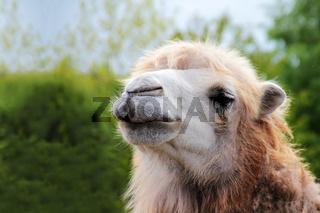 Camel portrait close up