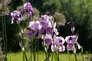Iris Barbata-Elatior, Hohe Bart-Iris, Tall Bearded Iris