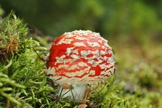 colorful fly agaric