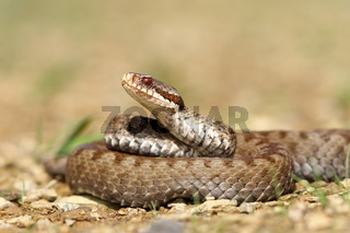 beautiful Vipera berus on ground ( the common crossed european adder