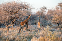 Young funny Namibian giraffe is curiously looking into photographer while his mother is going into savanna woodlands of Etosha National Park