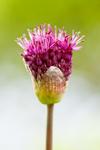 Zierlauchknospe - Allium