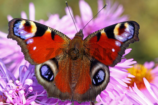 Tagpfauenauge, peacock butterfly