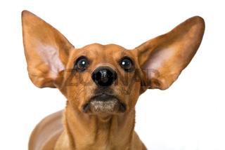Dackel mit fliegenden Ohren