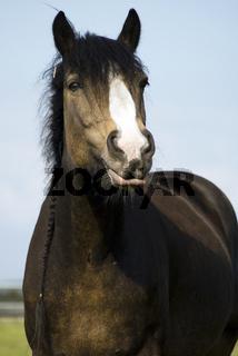 Pferd, Tinker-Mix