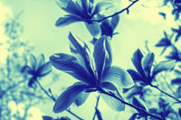 Beautiful blossom magnolia flowers against sunset. Shallow depth of field. Vintage dark toned effect. Spring nature. Greeting card template