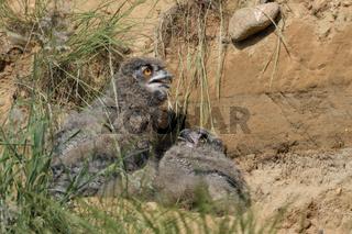 Sommerhitze... Europäischer Uhu *Bubo bubo*, Jungvögel hecheln um Wärmeausgleich zu erlangen
