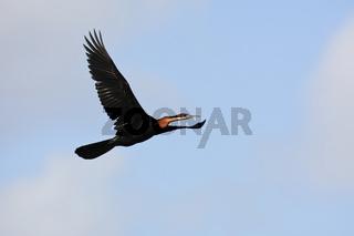 African Darter - Schlangenhalsvogel - Intaka Island - South Africa