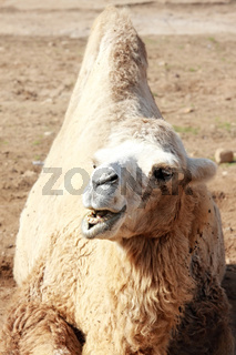 Roaring camel