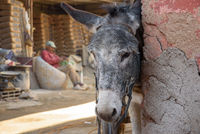 Donkey in Marrakesh, Morocco