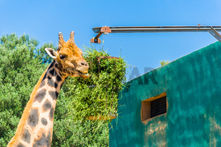 Eating giraffe, Safari Park - Majorca