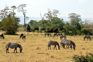 Herd of zebras and wildebeest grazing in the savannah