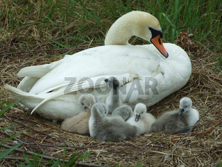 Schwanenmutter mit Küken,  mother swan and cygnets
