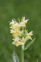 Holunder Knabenkraut, Dactylorhiza sambucina, Elder flowered Orchid
