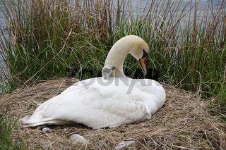 Schwanenmutter mit Küken,  mother swan with cygnet in nest