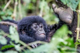Close up of a baby Mountain gorilla.