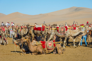 Camels for ride, Gobi desert, China