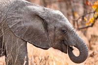 Junger Elefant im Kruger Nationalpark Südafrika; young african elephant south africa, wildlife