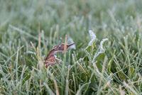trockenes Laub und frostiger Reif an Löwenzahn und Gras