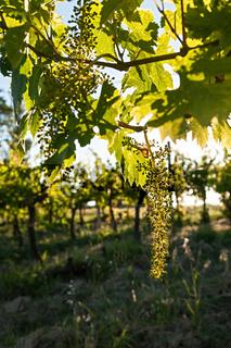 Small green grapes on vineyard