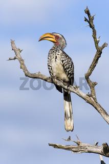 Gelbschnabeltoko, (Tockus leucomelas), Yellow-billed Hornbill