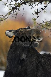 funny moose... Elch *Alces alces*
