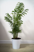 A potted plant Chamaedorea elegans isolated on white