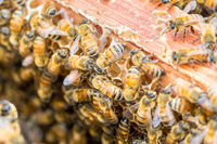 worker bees on beehive