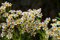 Tanacetum ferulaceum, eine Art der Wucherblumen - Tanacetum ferulaceum, a species of flowering plants in the aster family