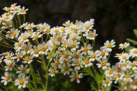 Tanacetum ferulaceum, eine Art der Wucherblumen - Tanacetum ferulaceum, a species of flowering plants in the aster family