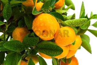 ripe fruit on the tree